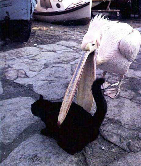 cat and a pelican